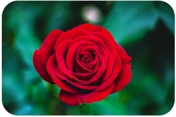 Flower Photography Composition Tips